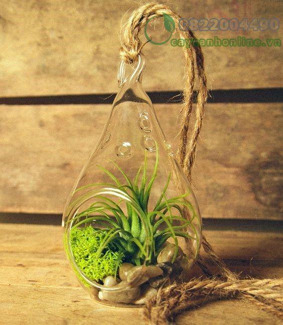 Bí quyết trồng cây không khí