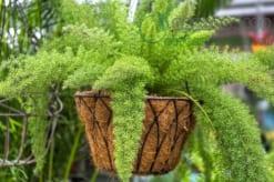 Kinh nghiệm trồng cây trúc đuôi chồn làm cảnh tuyệt đẹp