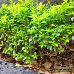 Chuỗi ngọc trồng viền