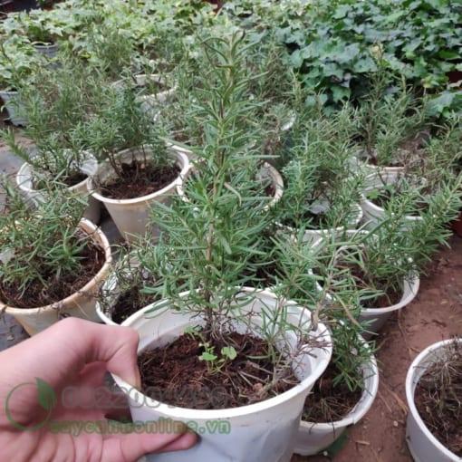 Cây Rosemary