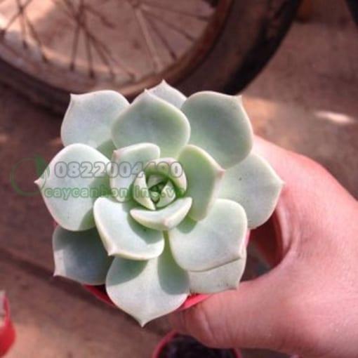 Sen đá bông hồng trắng
