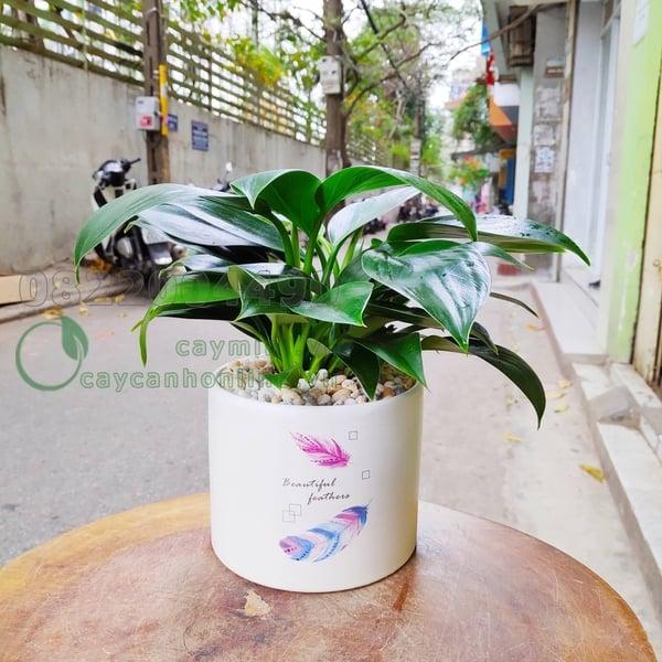 Cây Trầu Bà Đế Vương xanh phong thủy cho người tuổi Quý Mùi 1943,2003