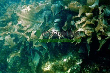 Các cây thủy sinh Tảo Spartina anglica
