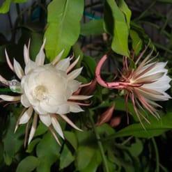 Cây Hoa quỳnh