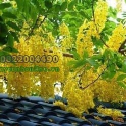 Hoa bò cạp vàng