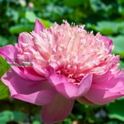 Hoa sen quan âm