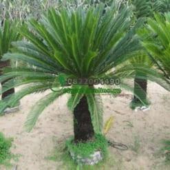 Cách trồng và chăm sóc cây thiên tuế