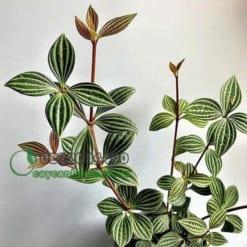 Cây Peperomia Puteolata