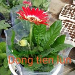 Cây Hoa Đồng Tiền