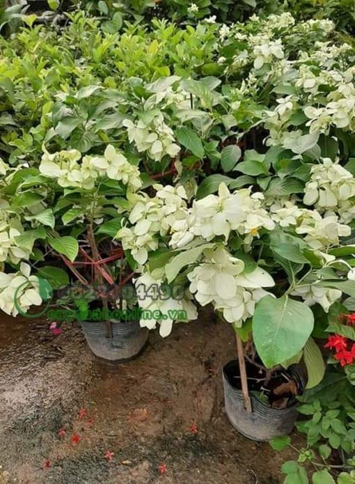 Hoa én bạc