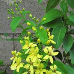 Hoa mai hoàng yến vàng