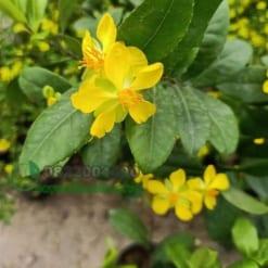 Hoa mai tứ quý