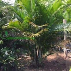 Cây Cau Lụa