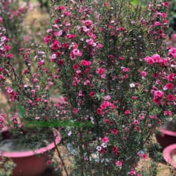 Cây hoa Tùng Tuyết Mai