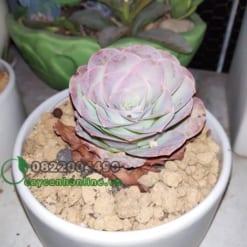 greenovia succulent