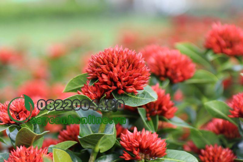 Hoa trang đỏ