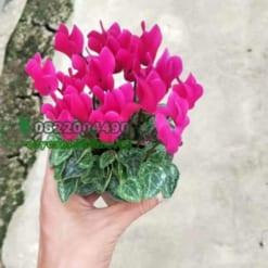 Hoa sen cạn