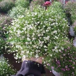 Hoa Baby