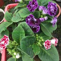 Hoa chuông tình yêu