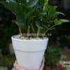 Chậu đai to gốm sứ trồng cây