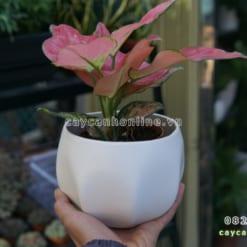 Chậu trồng cây để bàn gốm sứ bát tràng