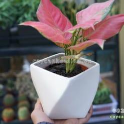 Chậu trồng cây để bàn xoắn