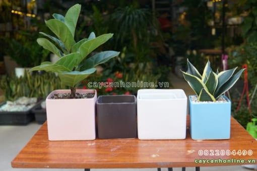 Chậu vuông thẳng trồng cây để bàn
