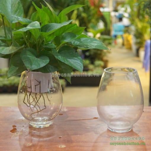 Bình thủy tinh cao trồng cây vạn niên thanh thủy sinh