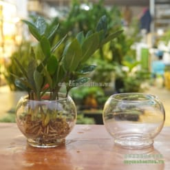 bình thủy tinh trồng cây kim tiền thủy sinh