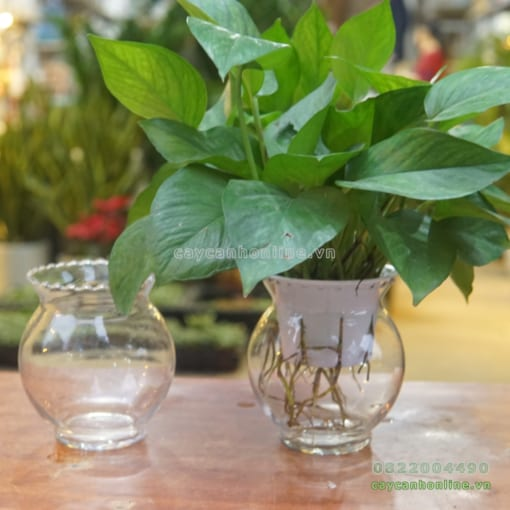 bình thủy tinh trồng cây thủy sinh