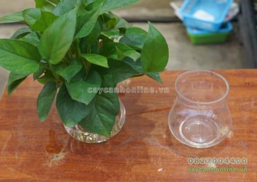 Bình thủy tinh trồng cây trầu bà thủy sinh
