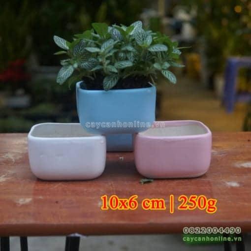Chậu trồng cây cẩm nhung để bàn